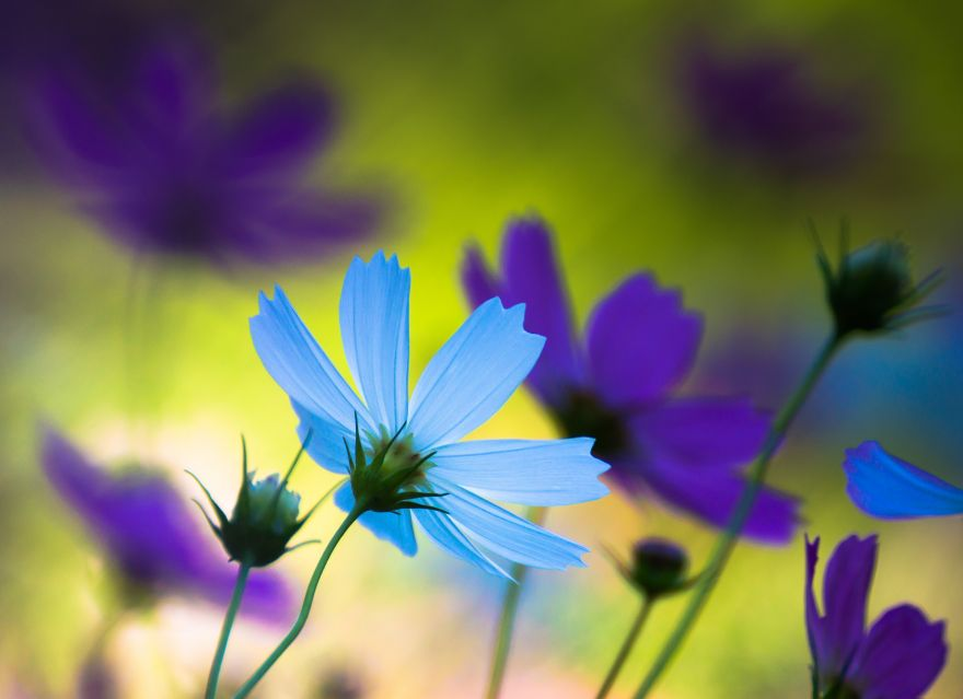 Cosmos, Flowers, Blue, Purple, Cosmos, Flowers, Blue, Purple, HD, 2K, 4K